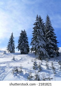 Firs in winter time cover by snow