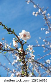 First almond blossom for the 2013 almond crop
