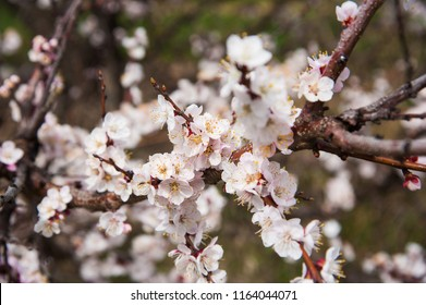 First apricot flowers. Flowering apricot on a clear spring day