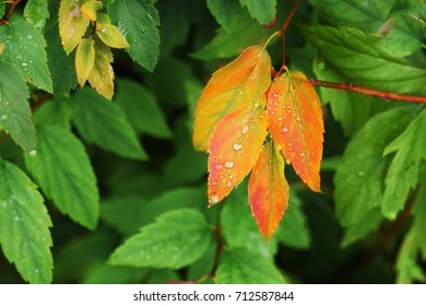 The first autumn leaves are bright orange in the background of green foliage. Beginning of autumn