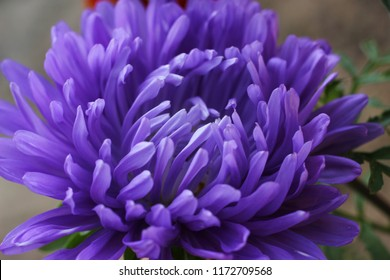 The first autumn purple chrysanthemum.