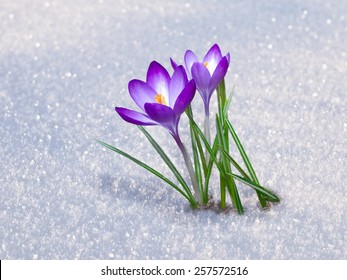 First blue crocus flowers, spring saffron in fluffy snow
