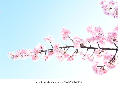 first cherry blossoms in Tokyo