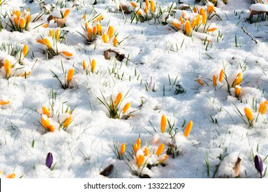 First crocus flowers blooming through the melting snow in the early spring