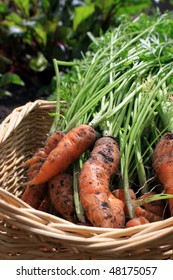 A first crop of organically grown carrots in a square wicker basket. The first shoots of organically growing beetroot in soft focus to the background.