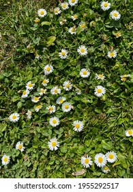 The first daisies appear with the coming of spring in Madrid, Spain