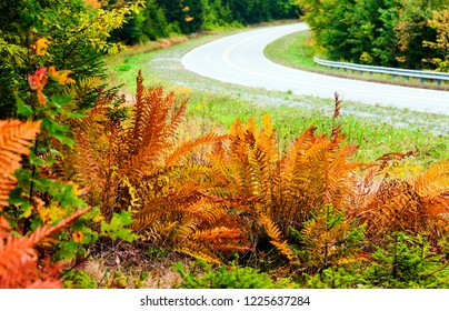 First day of fall,Cinnamon Ferns along the Highland Scenic Highway, Route 150, National Scenic Byway, Pocahontas County, West Virginia, USA