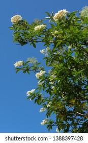 "First flowers of ""Sambucus Nigra"" (Black Elderberry) in the springtime"