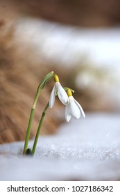 First flowers in spring. Common snowdrop (Galanthus nivalis)