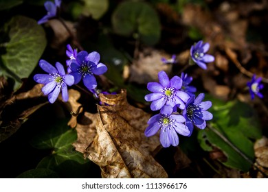 First fresh blue violets in the forest. Blue spring wildflower liverwort, Hepatica nobilis. Low deph of field