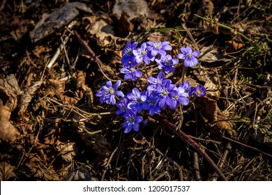 First fresh blue violets in the forest. Blue spring wildflowers liverwort, Hepatica nobilis.