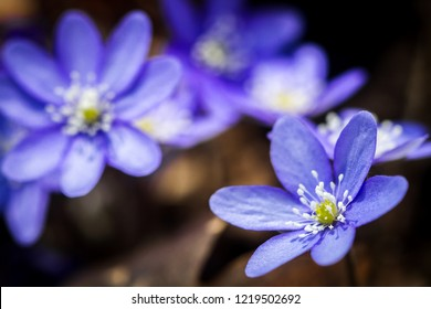 First fresh blue violets in the forest. Blue spring wildflowers liverwort, Hepatica nobilis. Low deph of field