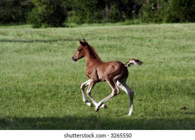 First Gallop