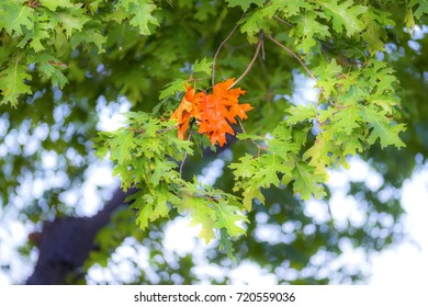 First group of leaves changed color on oak tree, vibrant orange branch amongst green. Changing seasons, autumn and fall image
