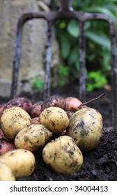 A first harvest of organically grown new potatoes, freshly dug from the ground lying on top of the soil, with a garden fork in the background.