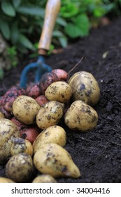 A first harvest of organically grown new potatoes, freshly dug from the ground lying on top of the soil, with a small hand held garden fork in the background.