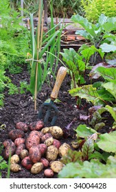 A first harvest of organically grown new potatoes, freshly dug from the ground lying on top of the soil next to a hand held garden fork , and amongst rows of growing beetroot, carrots and onions.
