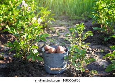 First harvest of potatoes in summer garden