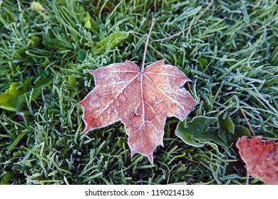 first frost hosta