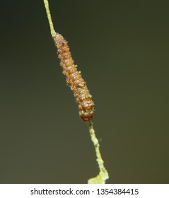 First instar of a Viceroy butterfly caterpillar on a willow leaf vein, after eating most of the leaf