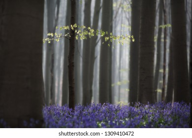 first leafs early spring pristine beech forest with bluebell wild flowers. Concept for new start or beginning, a message of hope and purity.