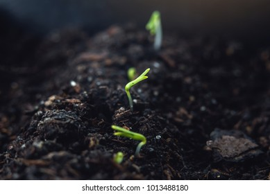 The first leaves of green plants who rise in the fertile land. The concept of gardening and plant care