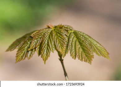 The first leaves in springtime on a young tree in the beech forest, Skane Sweden