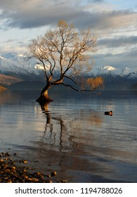 First Light on That Tree, Wanaka