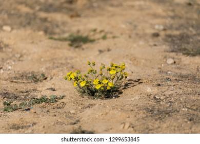 First little bush of yellow chrysanthemum coronarium at winter desert