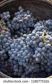 First new harvest of black wine grape in Provence, France, ready for first pressing, traditional festival in France close up