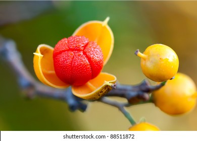 first oriental bittersweet of the autumn season explodes open. colorful yellow and red berries covered in dew on a shallow focus background of browns, greens and yellows