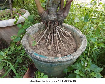 The first root that comes from a plant is called the radicle. A root's four major functions are: absorption of water and inorganic nutrients .anchoring of the plant  body to the ground, and supporting
