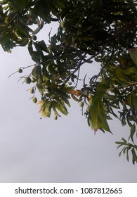 first season of mango ..its now mango buds...taking place on the tree