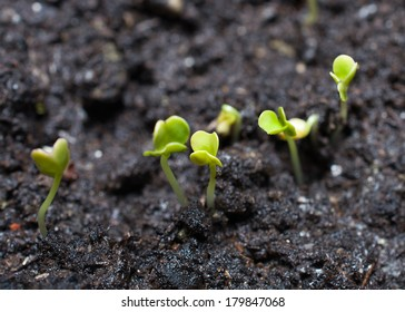 the first shoots of cabbage