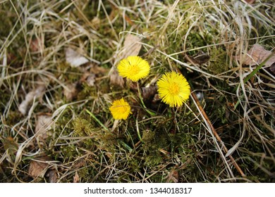 First sign of Spring - Coltsfoot flowers.