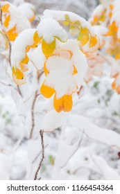 First snow and autumn color rose leaves on bush