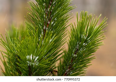 First snow flakes on a branch of green fresh fir tree. It will be Christmas time soon. Winter is coming. Close up image.