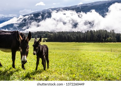 First snow in the mountains. Snow capped mountains and green pasture lands with donkeys. Change of weather. Dolomites, Sudtirol, Italy