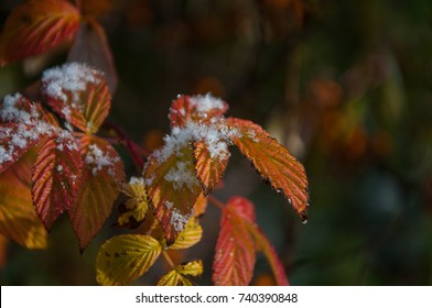 The first snow on the bright leaves of raspberries, red and yellow, autumn.