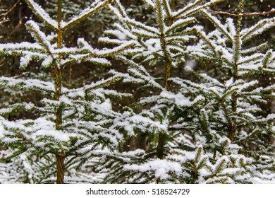 First snow on fir trees in a forest in the winter time