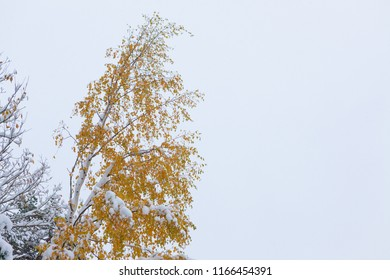 First snowfall and autumn leaves on tree