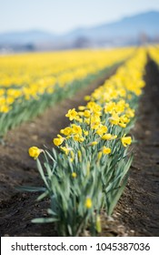 First Spring Fields of Yellow Daffodils