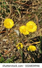 First spring flowers backlit snowdrops on sunshine glade.