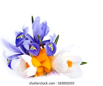 First spring flowers. Blue Iris persica (Persian Iris, bulbous iris) and crocuses on a white background.