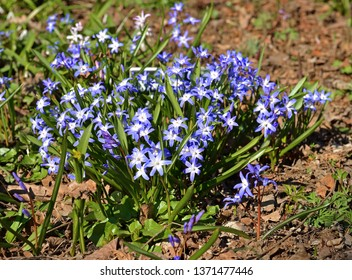 First spring flowers. Chionodoxa forbesii or Forbes' glory-of-the-snow, bulbous perennial