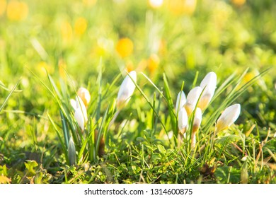 The first spring flowers crocus. Colorful spring fragrant flowers of crocus and green grass. Spring bright floral background. Gentle symbol of spring.