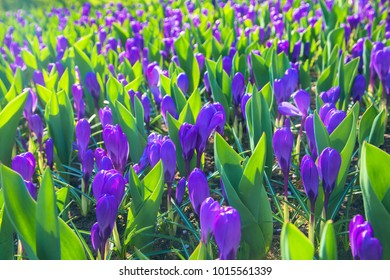 The first spring flowers crocus. Purple spring fragrant flowers of crocus and green grass. Spring bright floral background. Gentle symbol of spring.
