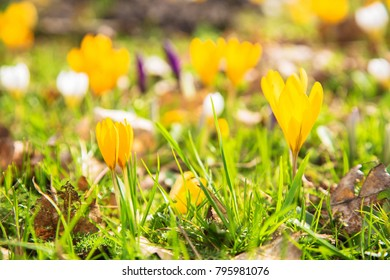The first spring flowers crocus. White spring fragrant flowers of crocus and green grass. Spring bright floral background. Gentle symbol of spring.