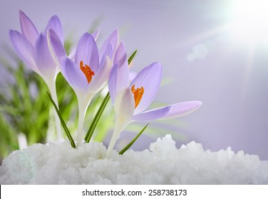 The first spring flowers, crocuses in a forest with snow