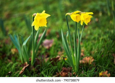 The first spring flowers daffodils. Narcíssus pseudonarcíssus. Flowering bright yellow daffodils. Spring, flowers, freshness background.